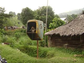 Kera di dalam sarang telepon umum (2)